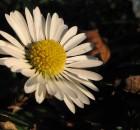 Navadna marjetica (Bellis perennis)