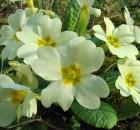 trobentica (Primula vulgaris)